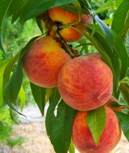 Pick Your Own Peaches Weekends