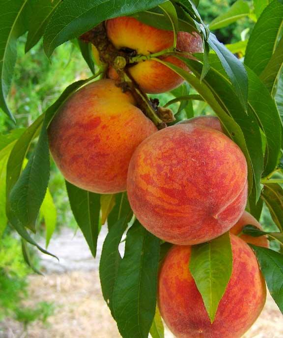 Demarest Farms PYO peaches!