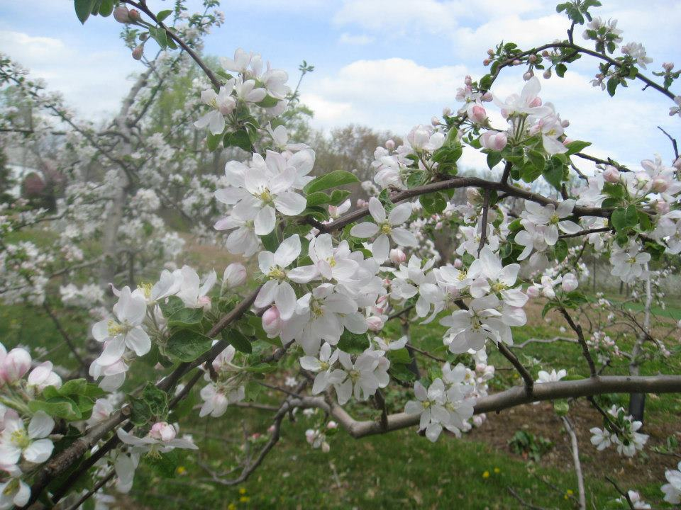 apple_blossoms_3
