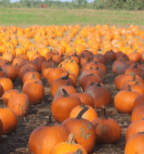 Pick Your Own Pumpkins Weekends