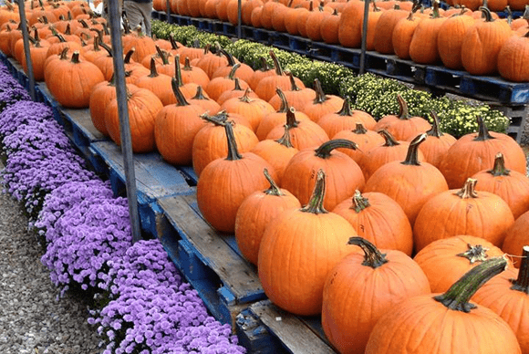 Pumpkin patches and corn mazes central nj.