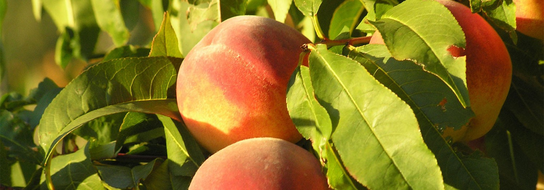 peach_tree1
