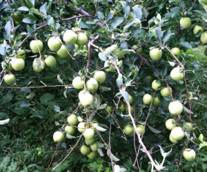 pic_apple_tree2